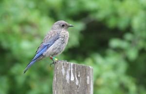 Western Bluebird juvenile (Credit:  Don Carson)