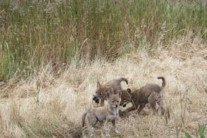 A variety of wildlife use the former landfill's prairie landscape for habitat, including coyotes. Here, coyote pups enjoy a meal provided by their parents at St. Johns prairie.