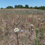 Dozens of different types of native wildflowers and plants are blooming at St. Johns Prairie in North Portland as part of efforts to transform the former landfill into a community asset.