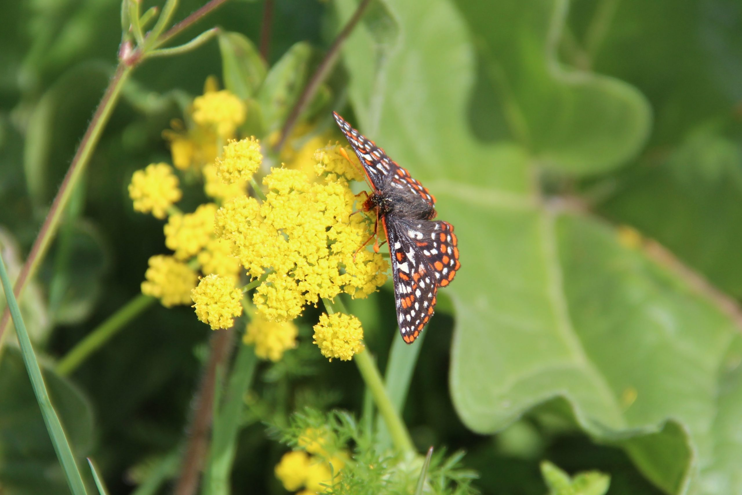 Taylor's checkerspot butterfly on lomatium.